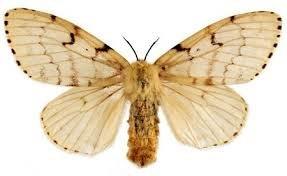 asian_gypsy_moth.jpg